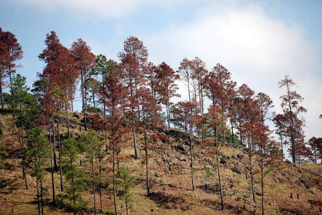 Bosque de Pino en Oriente amenazadas con plaga del Gorgojo Descortezador