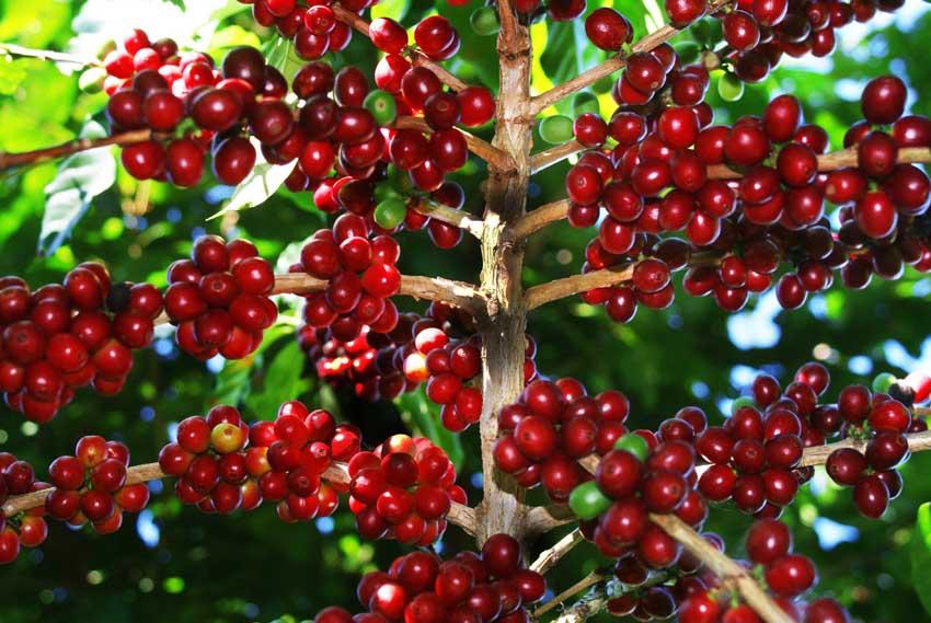 Mesa del café trabaja para  reactivar la caficultura de El Salvador