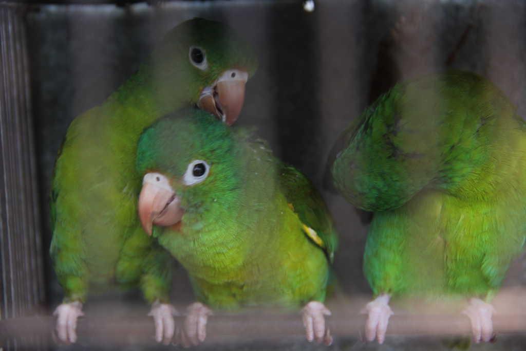 Rescatan 15 aves que permanecían en cautiverio en la Barra de Santiago