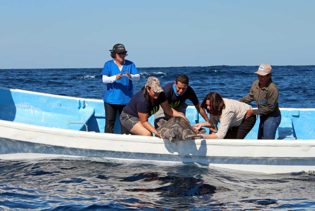 Tortuga golfina vuelve a su hábitat tras remoción de una de sus aletas