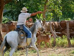 Condenan a estadounidense y tres salvadoreños por hurto de ganado en Ahuachapán