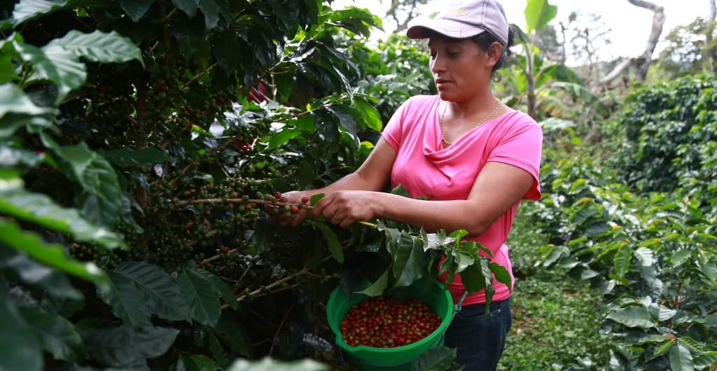 Honduras será sede de Simposio Latinoamericano de Caficultura