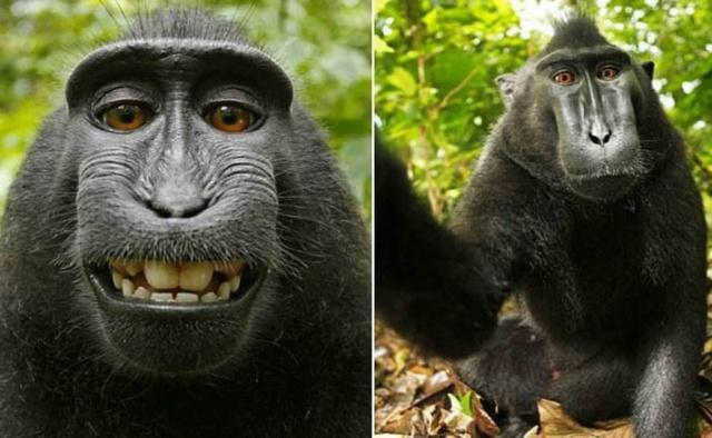 Mono logra ganancias por sus selfies; PETA alcanza acuerdo con fotógrafo