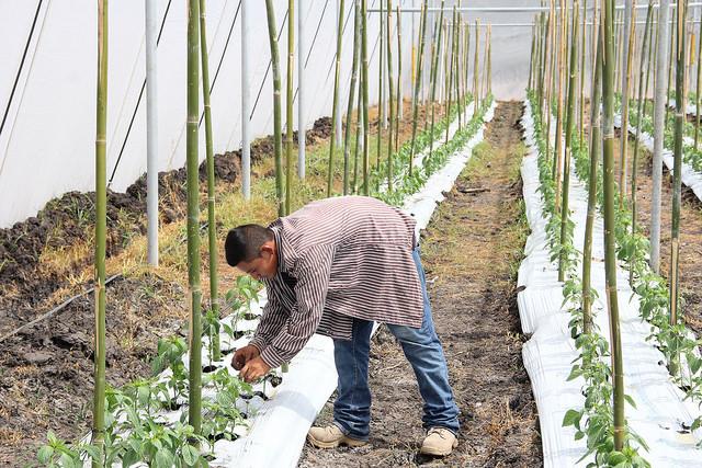 Productores de Candelaria de la Frontera le apuestan a cultivo de hortalizas en ambientes protegidos