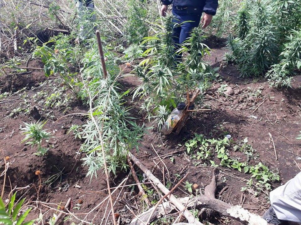 Encuentran plantación de más de 80 arbustos de marihuana