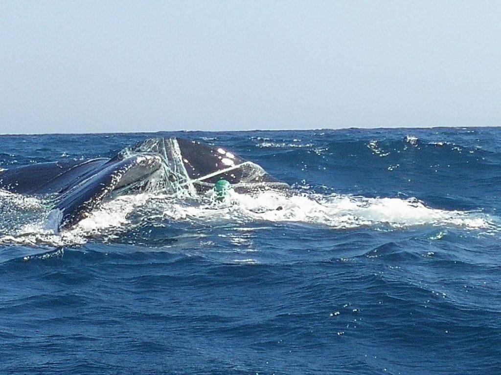 Liberan a dos ballenas atrapadas en redes de pesca en Los Cóbanos