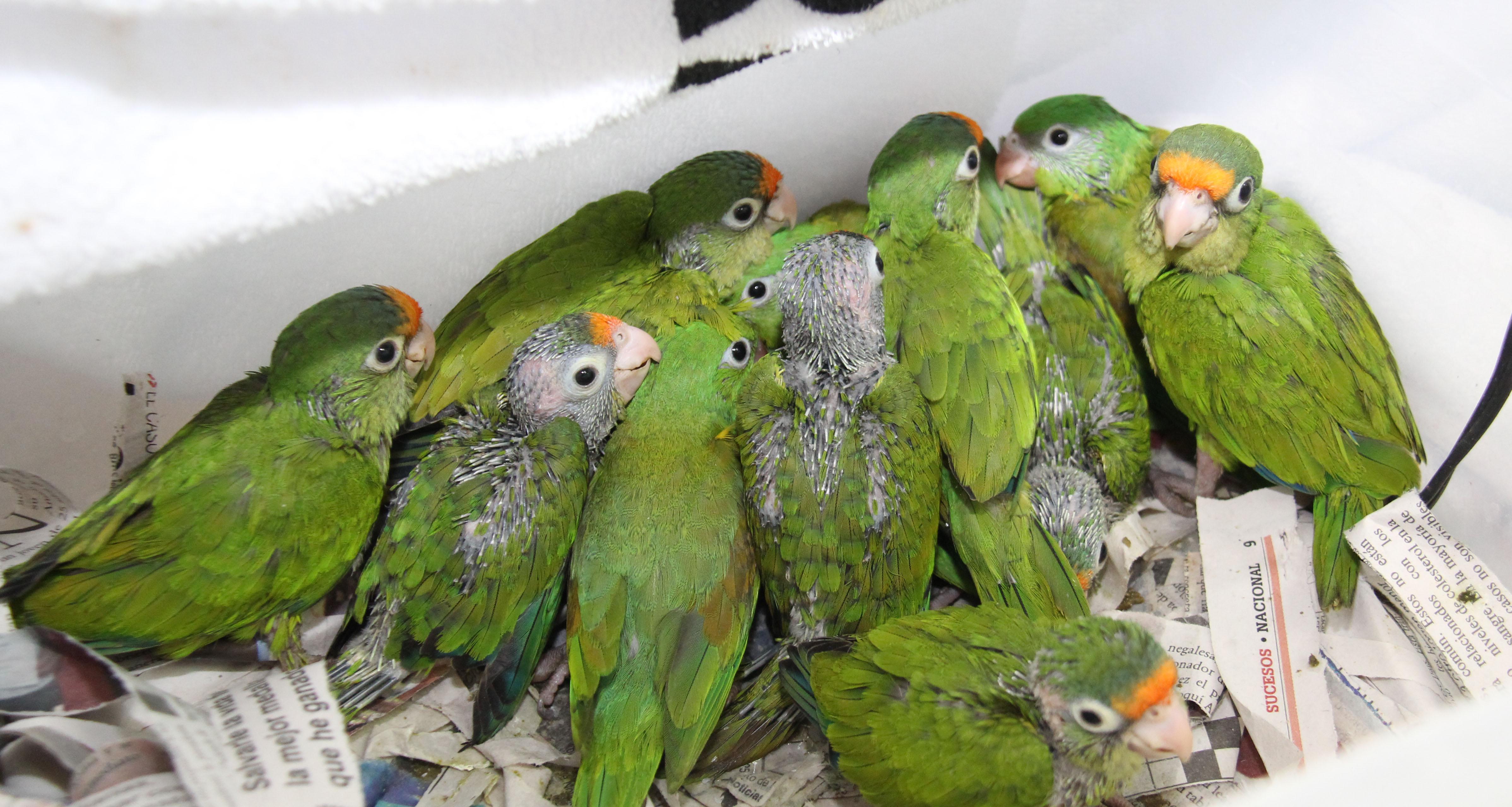 PNC decomisa 22 aves amenazadas y en peligro de extinción