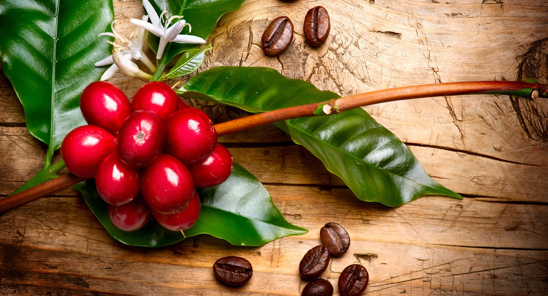 Continúan impulsando medidas para reactivar el sector cafetalero y la renovación de plantas