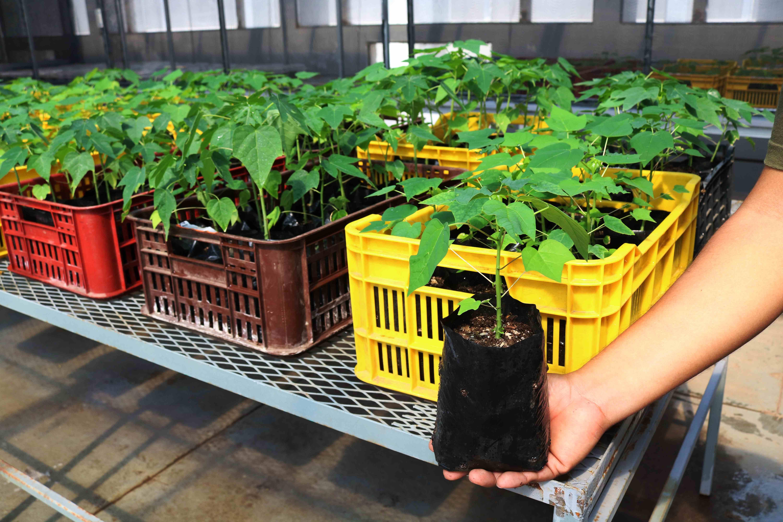 CON TECNOLOGÍA IN VITRO CENTA OBTIENE PLANTAS HERMAFRODITAS DE PAPAYA QUE PRODUCEN FRUTOS  ALARGADOS