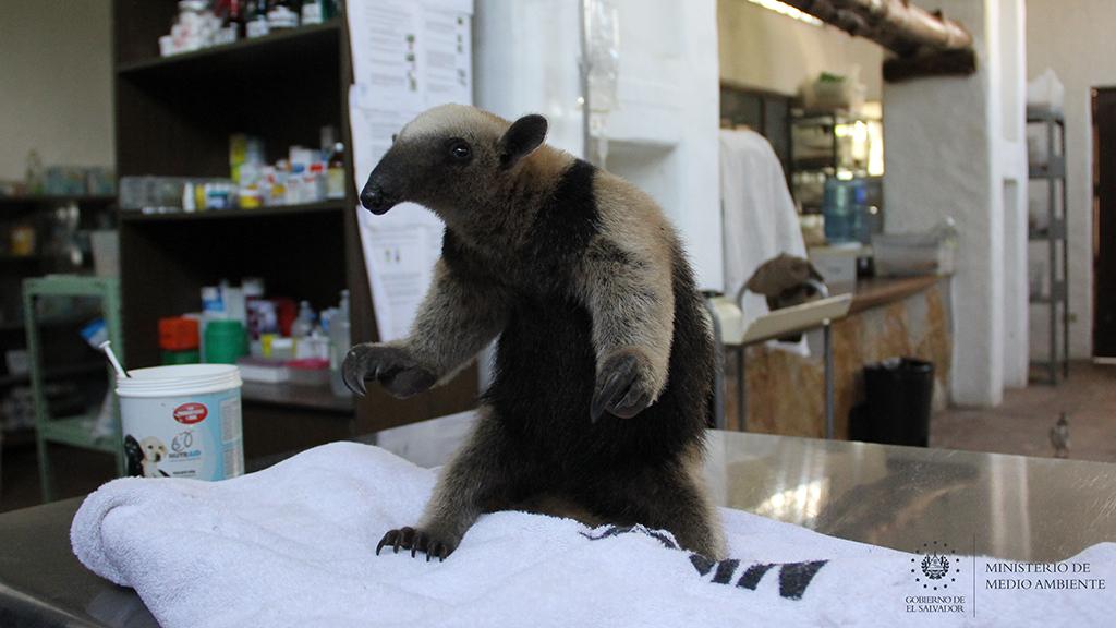 MARN atiende oso hormiguero