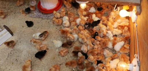 Emprendedor recibe apoyo para proyecto de pollos de engorde