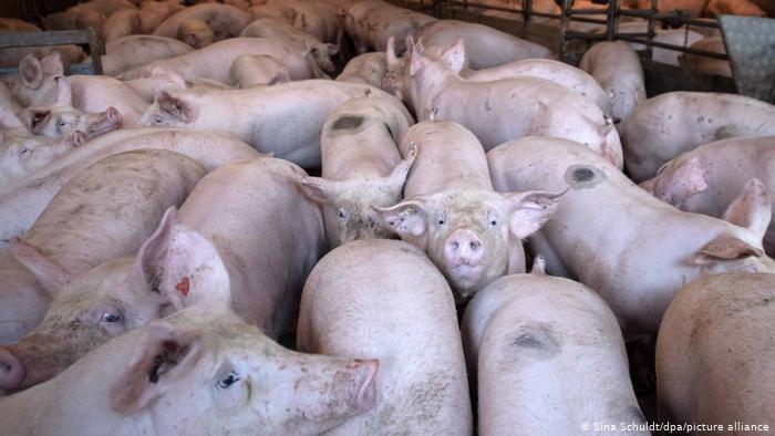 Alemania detectan su primer caso de peste porcina africana en criadero de cerdos